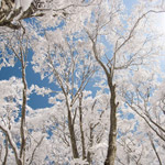 Cortina-Trees