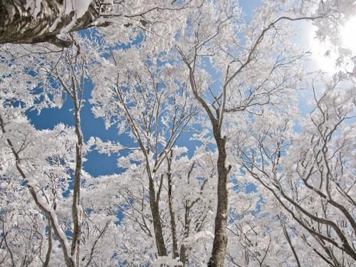 snow trees in cortina, hakuba
